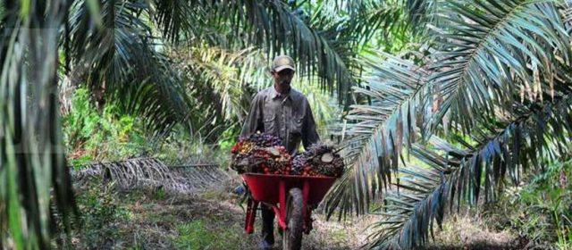 Inpres Moratorium Sawit Tidak Berdampak Nyata bagi Petani Kecil